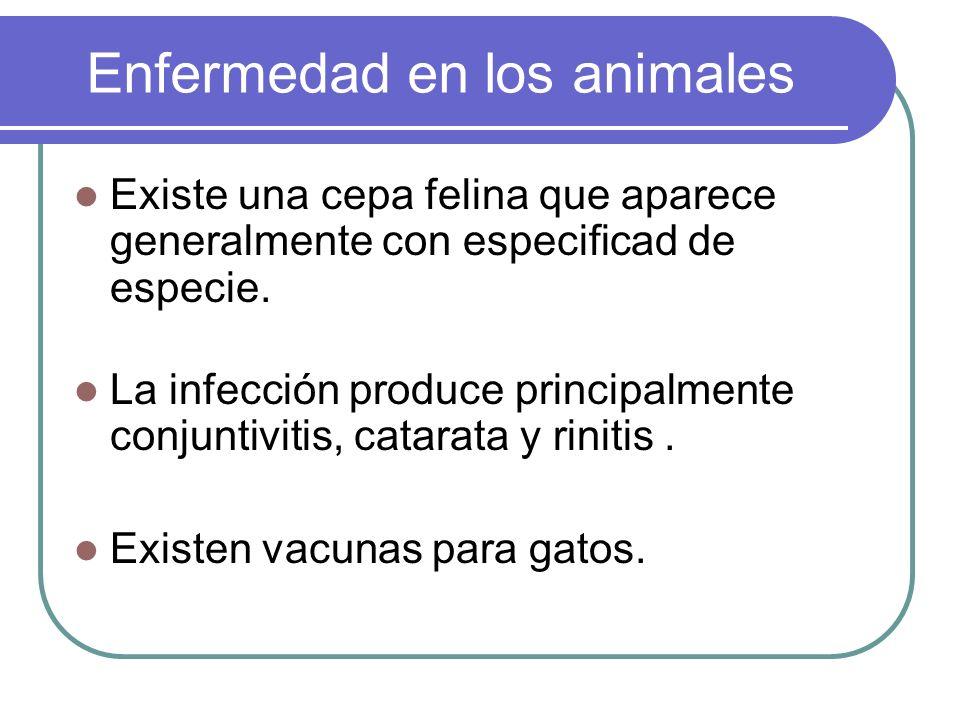 Enfermedad en los animales Existe una cepa felina que aparece generalmente con especificad de especie. La infección produce principalmente conjuntivit