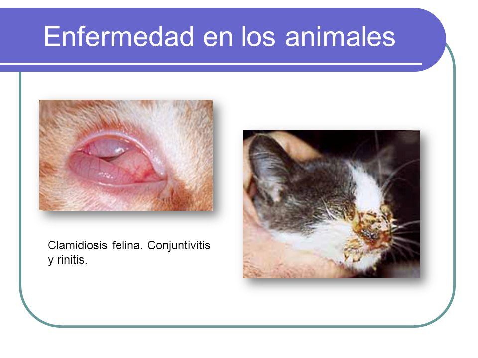 Enfermedad en los animales Clamidiosis felina. Conjuntivitis y rinitis.