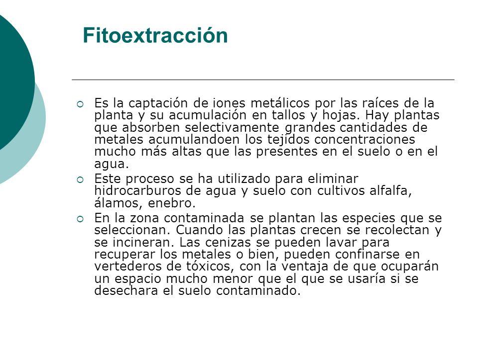 Fitoextracción Es la captación de iones metálicos por las raíces de la planta y su acumulación en tallos y hojas. Hay plantas que absorben selectivame