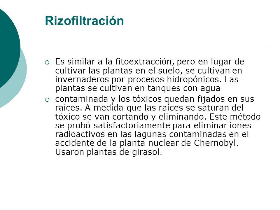 Rizofiltración Es similar a la fitoextracción, pero en lugar de cultivar las plantas en el suelo, se cultivan en invernaderos por procesos hidropónico