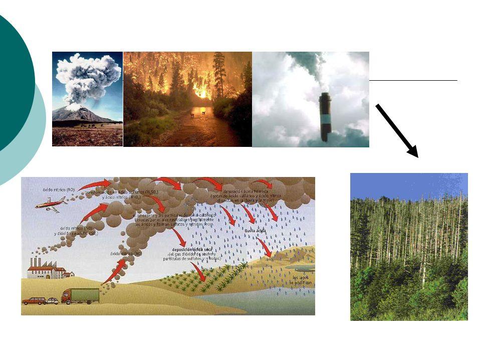 Bombeo biológico Cuando las raíces de los árboles llegan hasta el manto freático absorben una gran cantidad de agua.