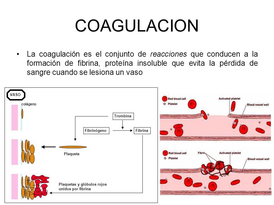 16 COAGULACION La coagulación es el conjunto de reacciones que conducen a la formación de fibrina, proteína insoluble que evita la pérdida de sangre c