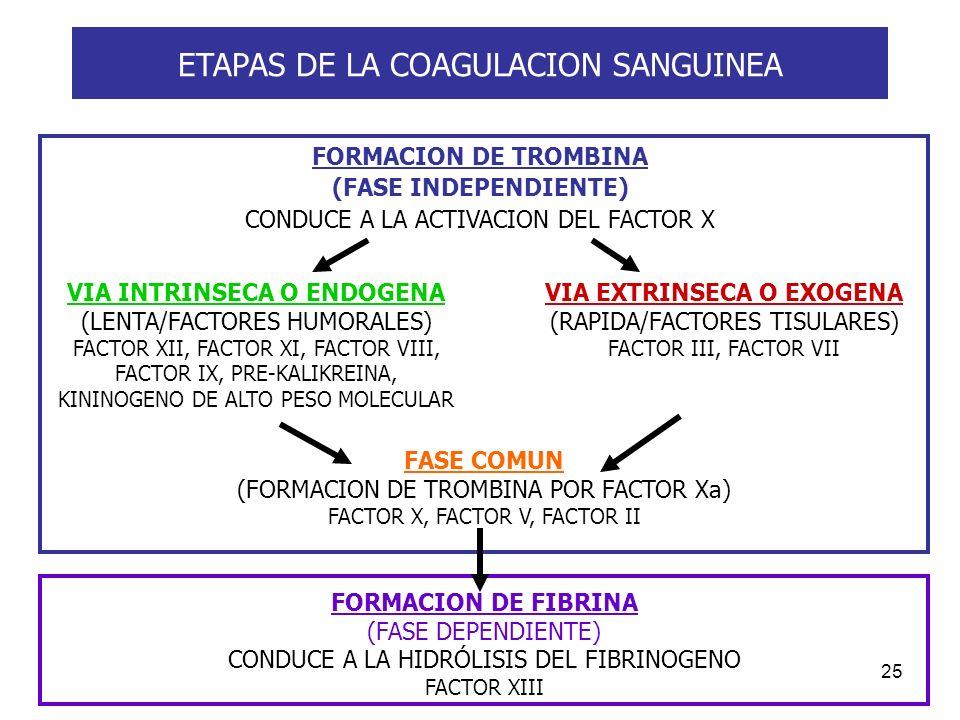 25 ETAPAS DE LA COAGULACION SANGUINEA FORMACION DE TROMBINA (FASE INDEPENDIENTE) CONDUCE A LA ACTIVACION DEL FACTOR X VIA INTRINSECA O ENDOGENA (LENTA