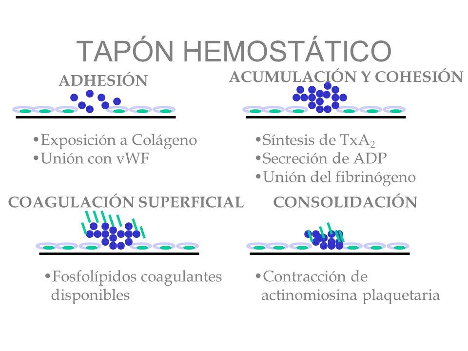 TAPÓN HEMOSTÁTICO ADHESIÓN ACUMULACIÓN Y COHESIÓN Exposición a Colágeno Unión con vWF Síntesis de TxA 2 Secreción de ADP Unión del fibrinógeno COAGULA
