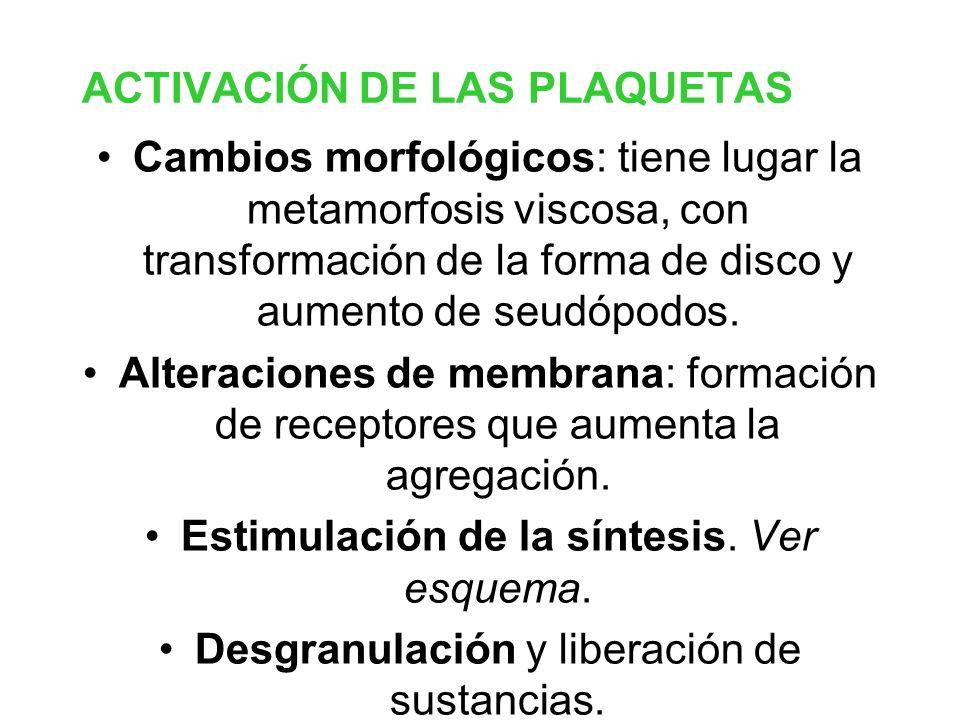 ACTIVACIÓN DE LAS PLAQUETAS Cambios morfológicos: tiene lugar la metamorfosis viscosa, con transformación de la forma de disco y aumento de seudópodos