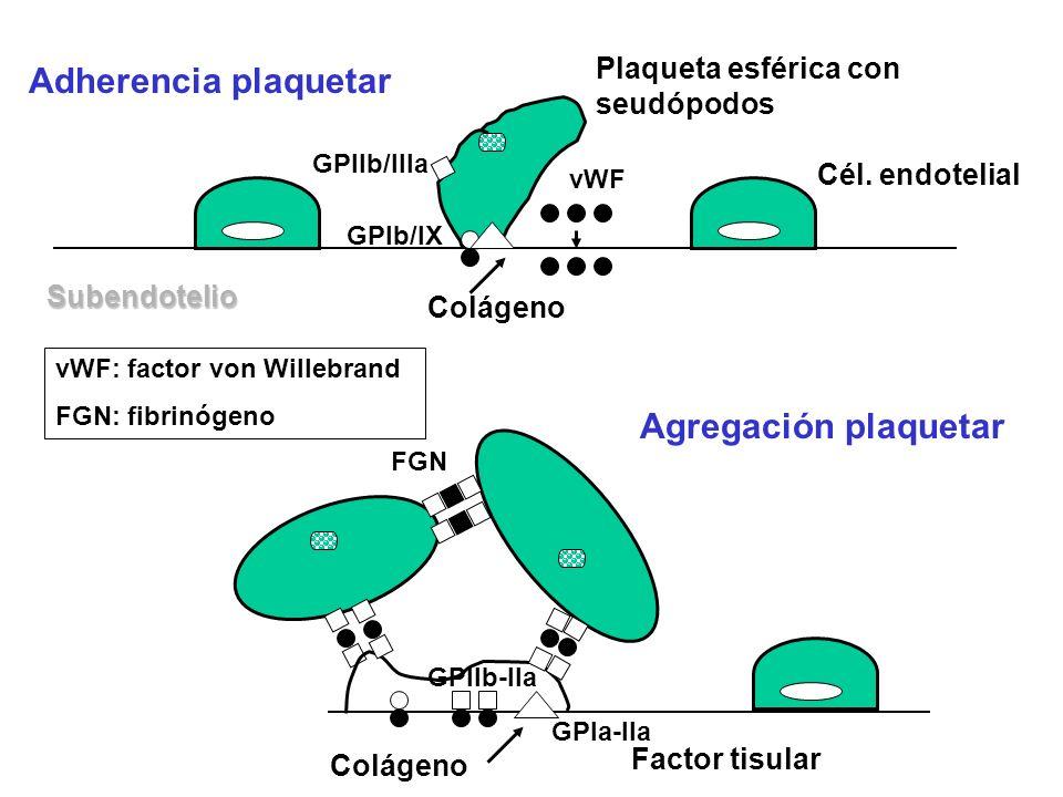 Subendotelio vWF Cél. endotelial GPIIb-IIa Adherencia plaquetar Agregación plaquetar GPIb/IX GPIa-IIa Colágeno Factor tisular Plaqueta esférica con se
