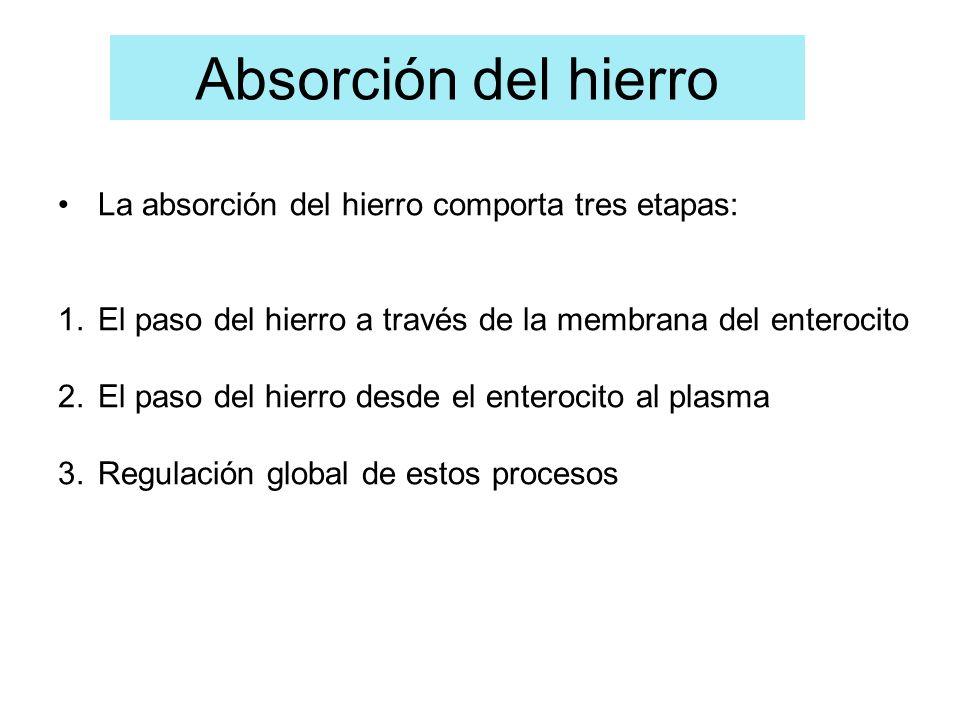 La absorción del hierro comporta tres etapas: 1.El paso del hierro a través de la membrana del enterocito 2.El paso del hierro desde el enterocito al