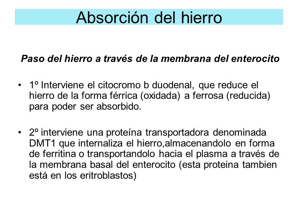Paso del hierro a través de la membrana del enterocito 1º Interviene el citocromo b duodenal, que reduce el hierro de la forma férrica (oxidada) a fer