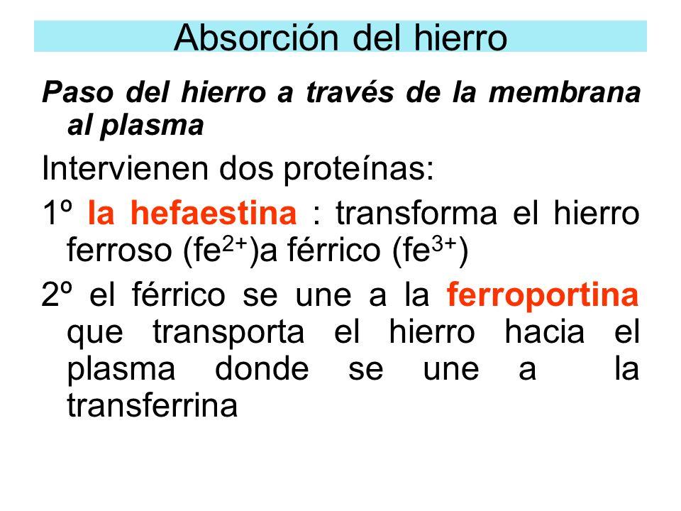 Paso del hierro a través de la membrana al plasma Intervienen dos proteínas: 1º la hefaestina : transforma el hierro ferroso (fe 2+ )a férrico (fe 3+