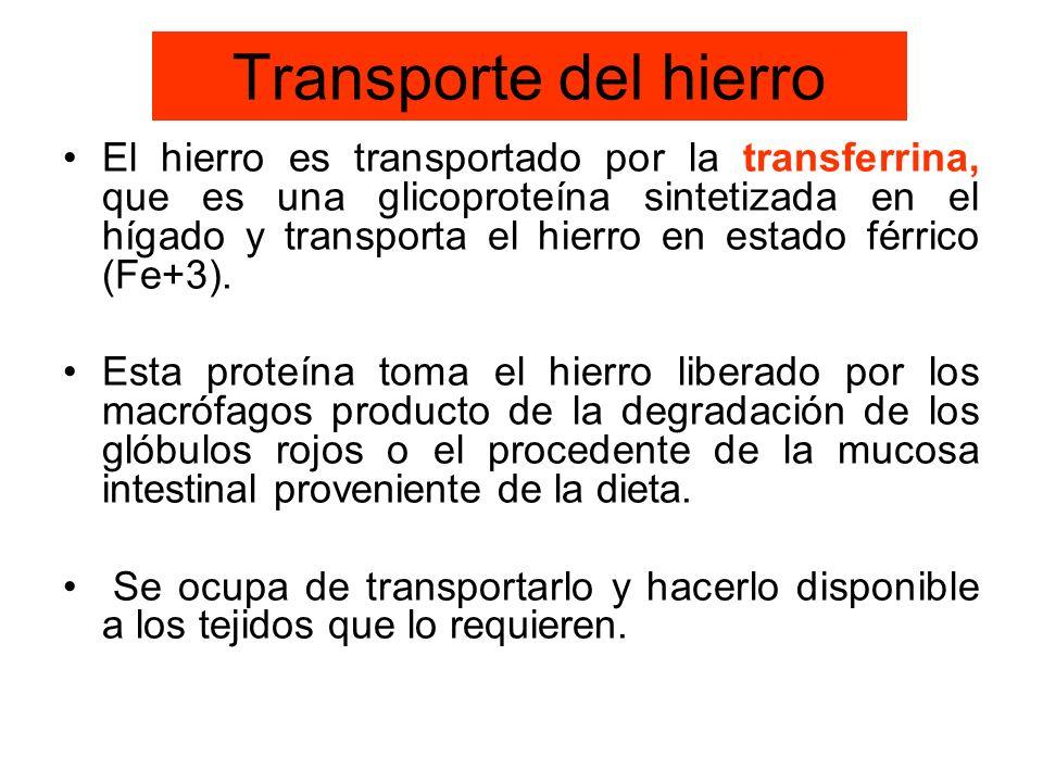 Transporte del hierro El hierro es transportado por la transferrina, que es una glicoproteína sintetizada en el hígado y transporta el hierro en estad