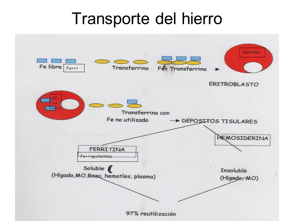 diaforasa Fe++/apoferritina Fe+++ FE ++