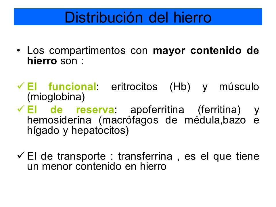 Los compartimentos con mayor contenido de hierro son : El funcional: eritrocitos (Hb) y músculo (mioglobina) El de reserva: apoferritina (ferritina) y