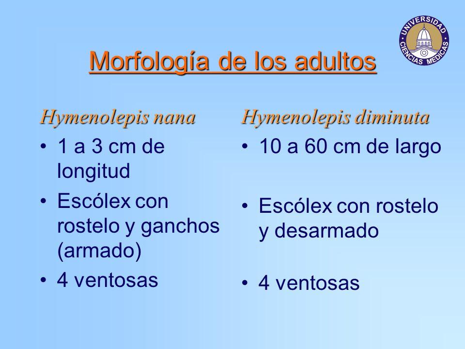 Morfología de los adultos Hymenolepis nana 1 a 3 cm de longitud Escólex con rostelo y ganchos (armado) 4 ventosas Hymenolepis diminuta 10 a 60 cm de l