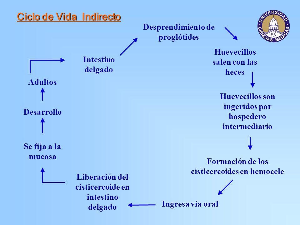 Ciclo de Vida Indirecto Intestino delgado Adultos Desprendimiento de proglótides Huevecillos salen con las heces Huevecillos son ingeridos por hospede