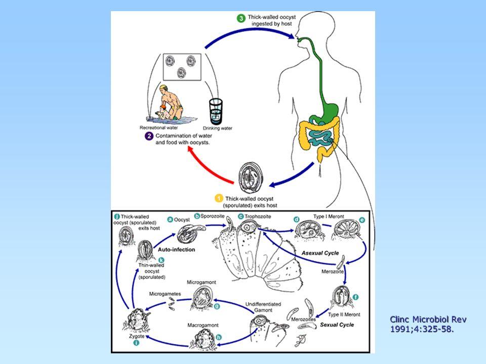 Ciclosporosis Cyclospora cayetanensisCyclospora cayetanensis 1923-1931 identificación del parásito1923-1931 identificación del parásito 1985 - Ortega y colaboradores1985 - Ortega y colaboradores Casos en inmunodeficientesCasos en inmunodeficientes 1999 - Chinchilla et al.