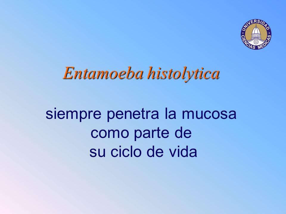 Entamoeba histolytica Entamoeba histolytica siempre penetra la mucosa como parte de su ciclo de vida