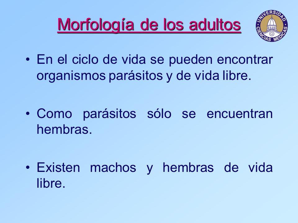 Morfología de los adultos En el ciclo de vida se pueden encontrar organismos parásitos y de vida libre. Como parásitos sólo se encuentran hembras. Exi