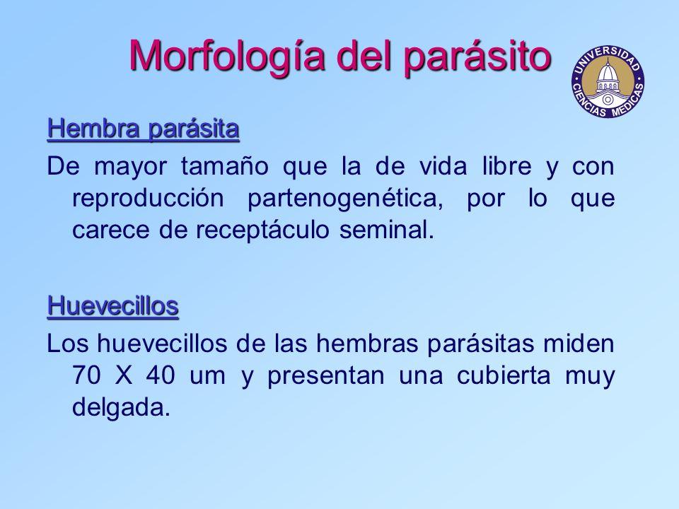 Morfología del parásito Hembra parásita De mayor tamaño que la de vida libre y con reproducción partenogenética, por lo que carece de receptáculo semi