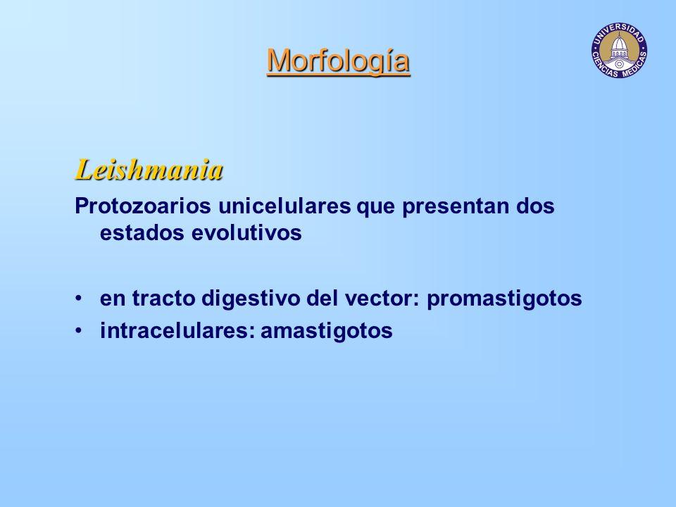 Morfología Amastigotos Cuerpos redondos u ovales de 2 a 3 um, con un núcleo central y cinetoplasto.Promastigotos Forma de huso con un flagelo anterior único con una longitud de 10-15 um por 1.5-3.5 um en su parte más ancha.