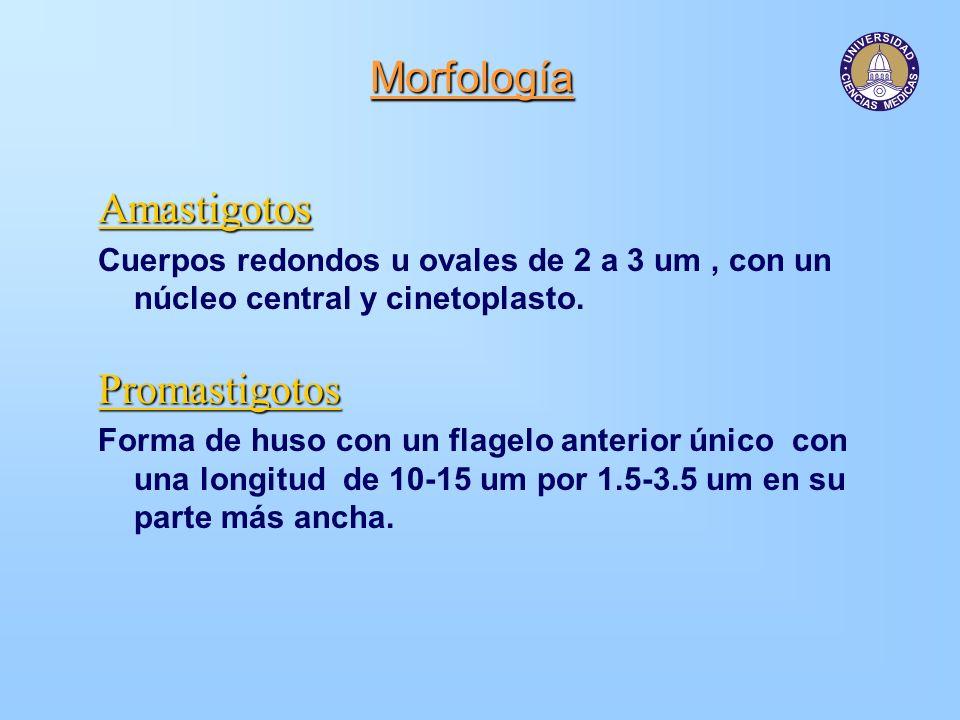 Morfología Amastigotos Cuerpos redondos u ovales de 2 a 3 um, con un núcleo central y cinetoplasto.Promastigotos Forma de huso con un flagelo anterior