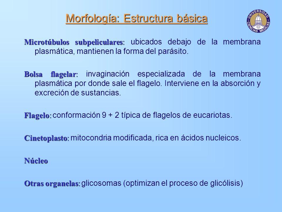 Morfología: Estructura básica Microtúbulos subpeliculares: Microtúbulos subpeliculares: ubicados debajo de la membrana plasmática, mantienen la forma