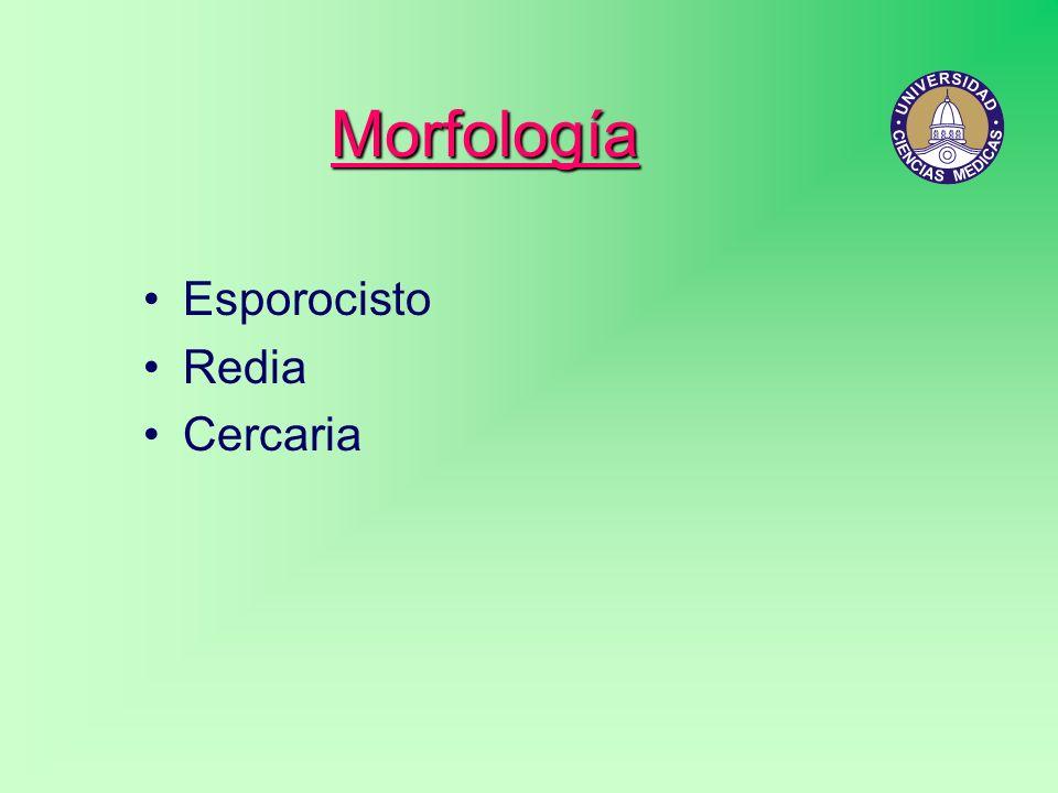 Morfología Esporocisto Redia Cercaria