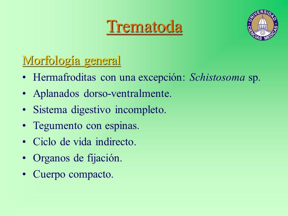 Trematoda Morfología general Hermafroditas con una excepción: Schistosoma sp. Aplanados dorso-ventralmente. Sistema digestivo incompleto. Tegumento co