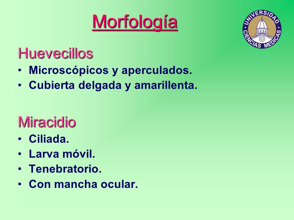 Morfología Huevecillos Microscópicos y aperculados. Cubierta delgada y amarillenta.Miracidio Ciliada. Larva móvil. Tenebratorio. Con mancha ocular.