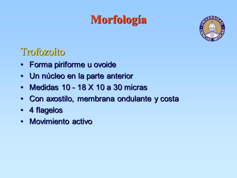 Morfología Trofozoíto Forma piriforme u ovoideForma piriforme u ovoide Un núcleo en la parte anteriorUn núcleo en la parte anterior Medidas 10 - 18 X