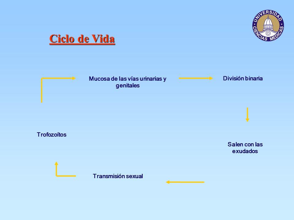 Ciclo de Vida Mucosa de las vías urinarias y genitales Trofozoítos División binaria Salen con las exudados Transmisión sexual