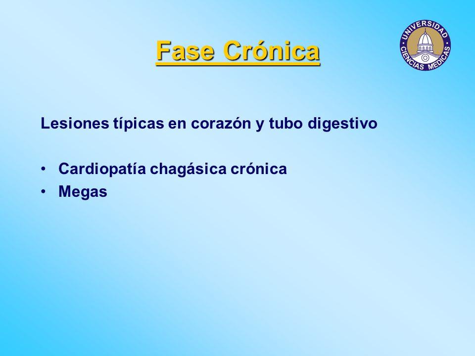 Fase Crónica Lesiones típicas en corazón y tubo digestivo Cardiopatía chagásica crónica Megas