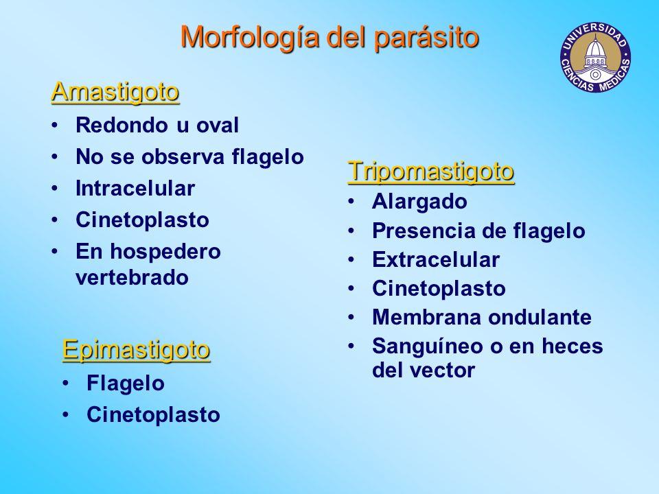 Morfología del parásito Amastigoto Redondo u oval No se observa flagelo Intracelular Cinetoplasto En hospedero vertebrado Tripomastigoto Alargado Pres
