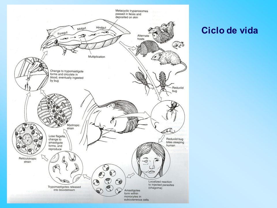 Aspectos clínicos Fases de la infección Fase aguda Fase latente Fase crónica