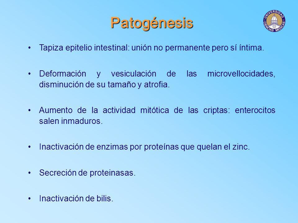 Patogénesis Tapiza epitelio intestinal: unión no permanente pero sí íntima. Deformación y vesiculación de las microvellocidades, disminución de su tam
