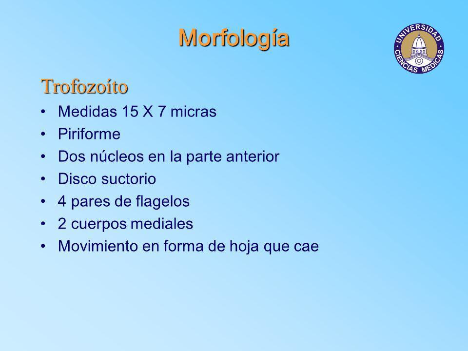 Morfología Trofozoíto Medidas 15 X 7 micras Piriforme Dos núcleos en la parte anterior Disco suctorio 4 pares de flagelos 2 cuerpos mediales Movimient
