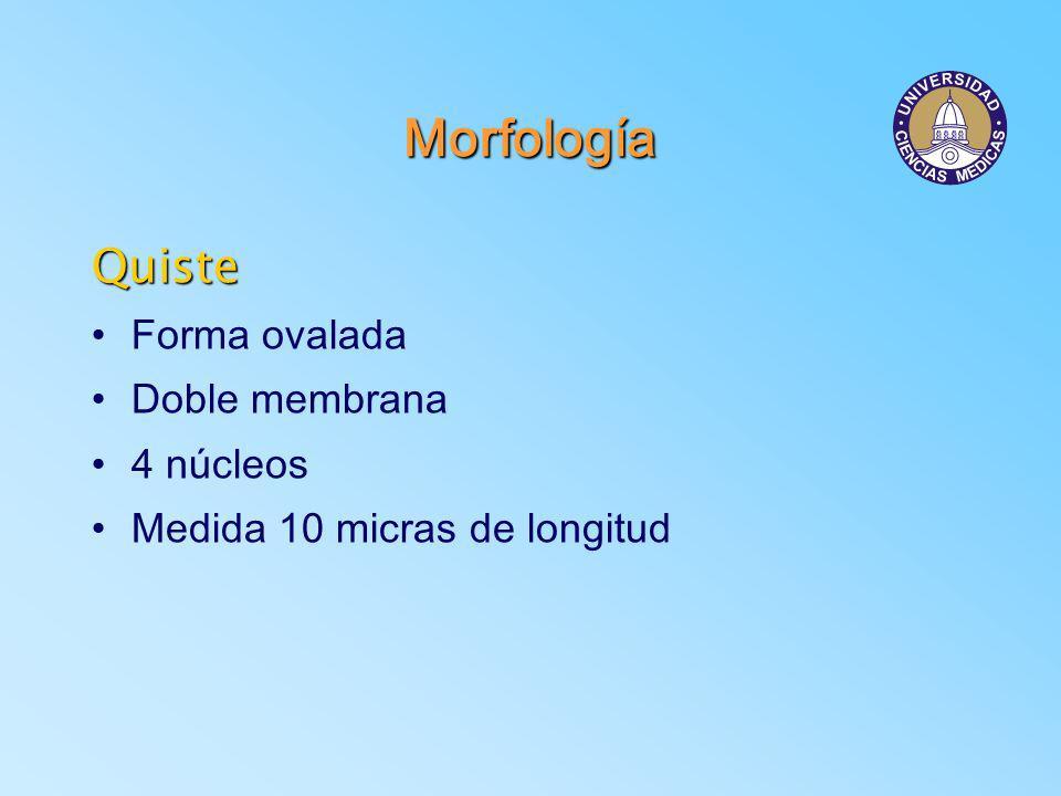 Ciclo de Vida Intestino delgado Trofozoítos fijados a la mucosa División binaria Algunos trofozoítos caen a la luz intestinal Formación de quistes Salen con las hecesIngresan vía oral Se liberan en intestino delgado y dan origen a 2 trofozoítos