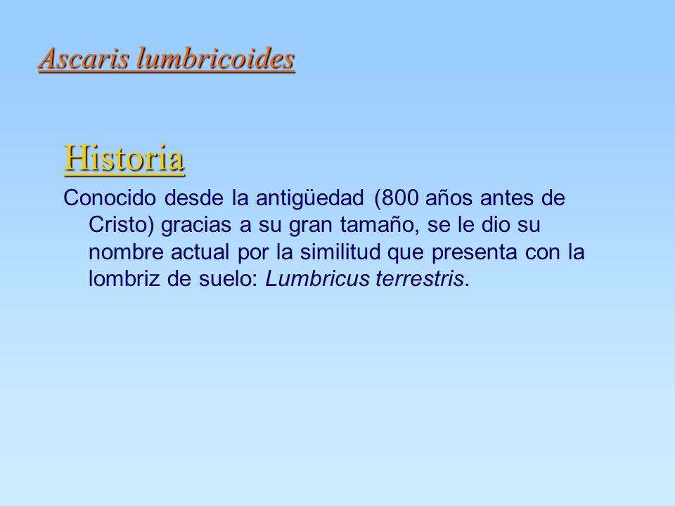 Ascaris lumbricoides Historia Conocido desde la antigüedad (800 años antes de Cristo) gracias a su gran tamaño, se le dio su nombre actual por la similitud que presenta con la lombriz de suelo: Lumbricus terrestris.