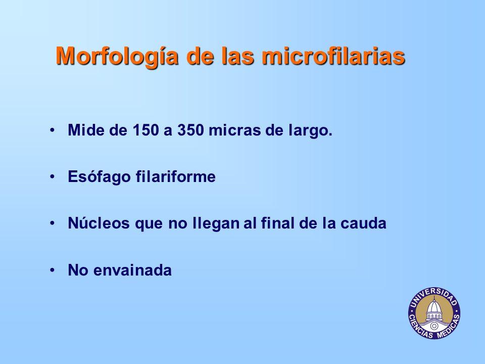 Morfología de las microfilarias Mide de 150 a 350 micras de largo. Esófago filariforme Núcleos que no llegan al final de la cauda No envainada
