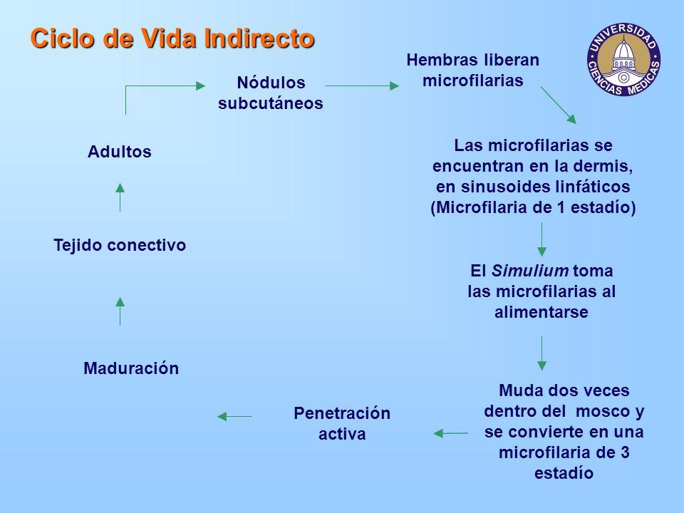 Ciclo de Vida Indirecto Nódulos subcutáneos Adultos Hembras liberan microfilarias Las microfilarias se encuentran en la dermis, en sinusoides linfátic