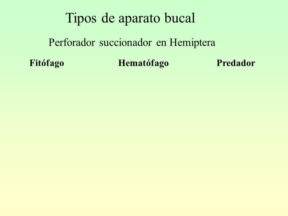 Tipos de aparato bucal Perforador succionador en Hemiptera FitófagoHematófagoPredador