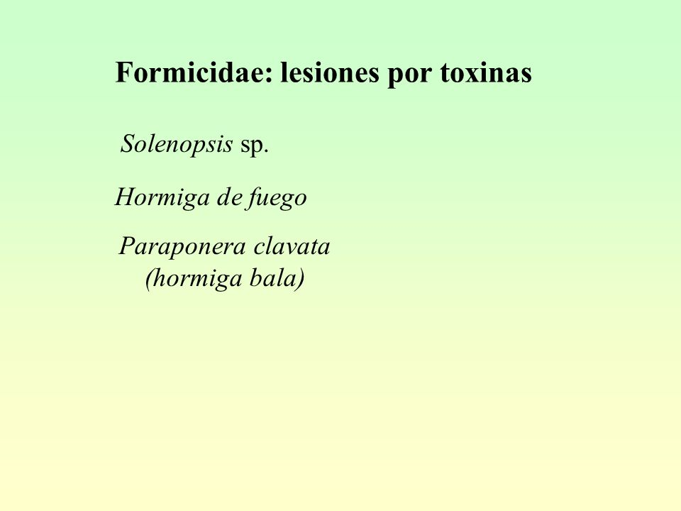 Formicidae: lesiones por toxinas Solenopsis sp. Hormiga de fuego Paraponera clavata (hormiga bala)