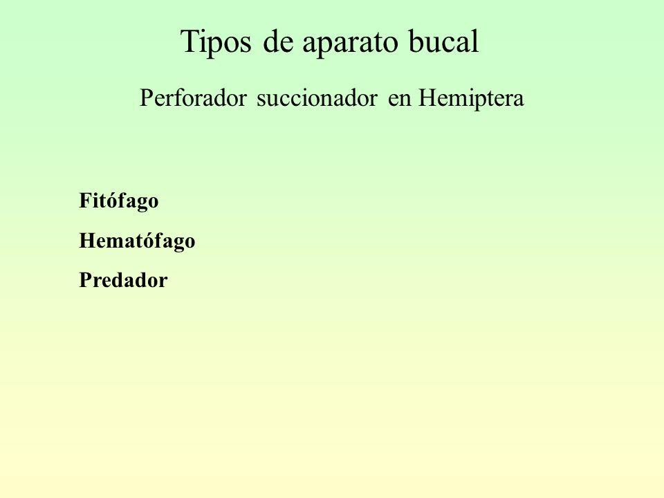 Tipos de aparato bucal Perforador succionador en Hemiptera Fitófago Hematófago Predador