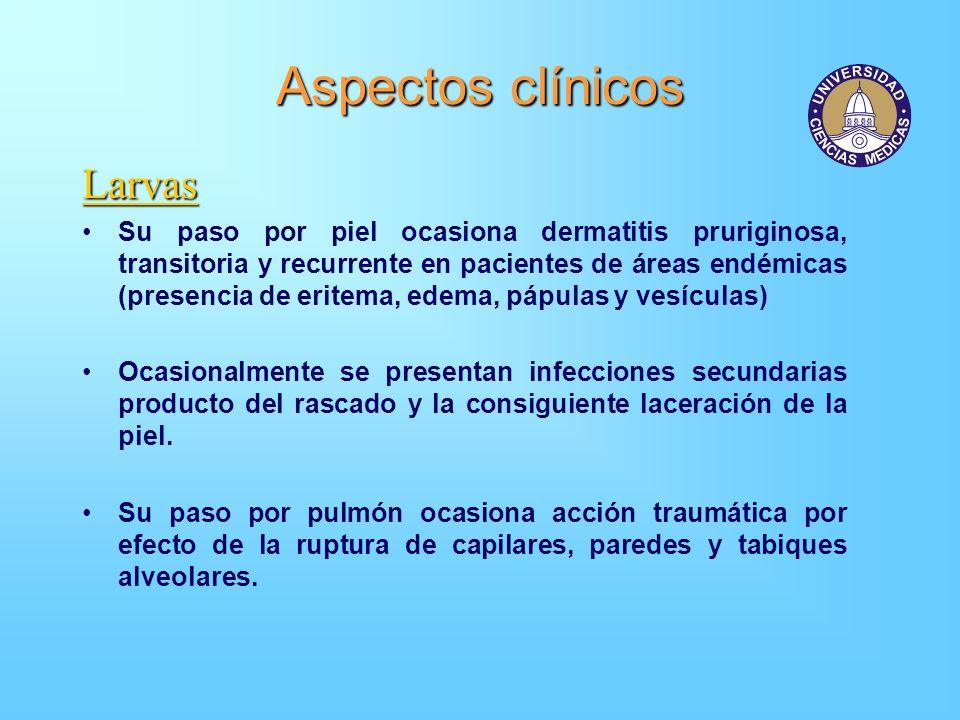 Aspectos clínicos Larvas Su paso por piel ocasiona dermatitis pruriginosa, transitoria y recurrente en pacientes de áreas endémicas (presencia de erit
