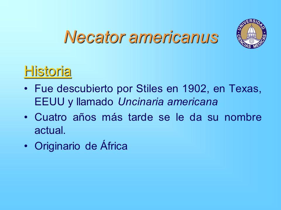 Necator americanus Historia Fue descubierto por Stiles en 1902, en Texas, EEUU y llamado Uncinaria americana Cuatro años más tarde se le da su nombre
