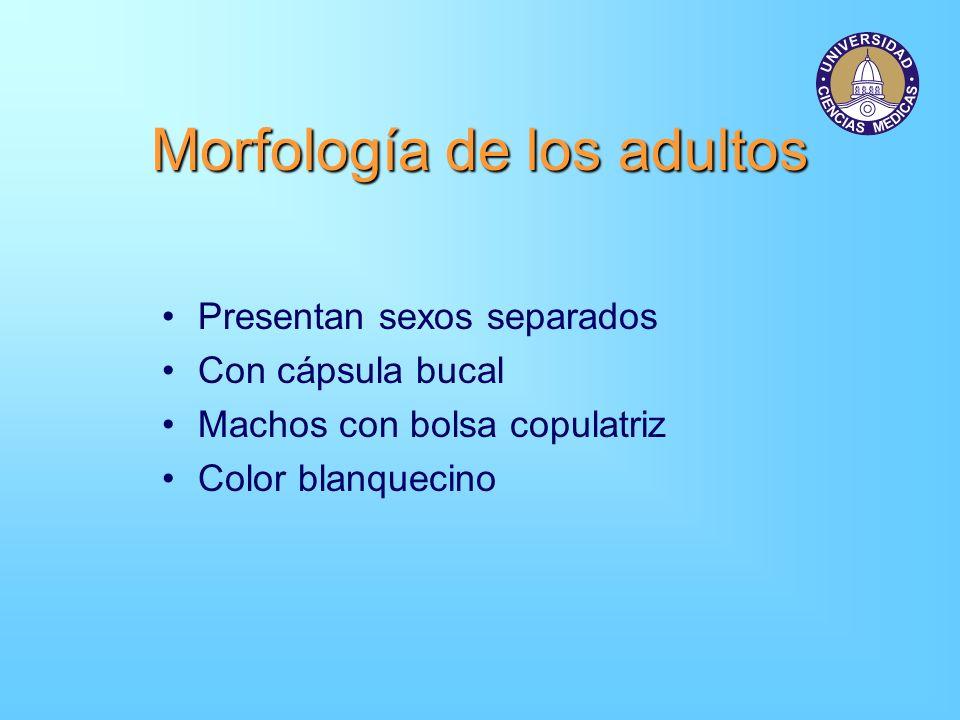 Morfología de los adultos Presentan sexos separados Con cápsula bucal Machos con bolsa copulatriz Color blanquecino