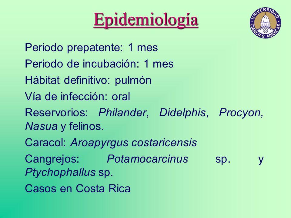 Epidemiología Periodo prepatente: 1 mes Periodo de incubación: 1 mes Hábitat definitivo: pulmón Vía de infección: oral Reservorios: Philander, Didelph