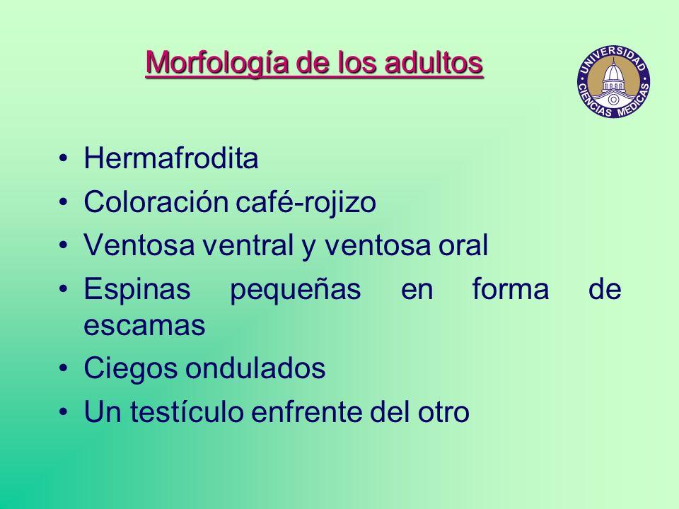 Hermafrodita Coloración café-rojizo Ventosa ventral y ventosa oral Espinas pequeñas en forma de escamas Ciegos ondulados Un testículo enfrente del otr