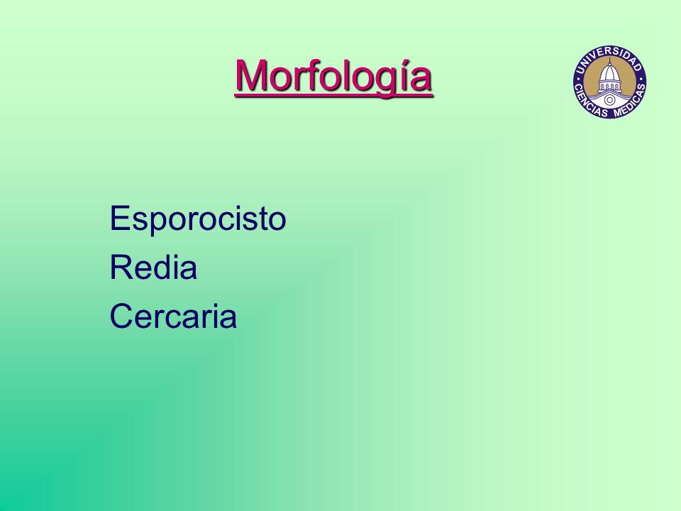 Esporocisto Redia Cercaria Morfología