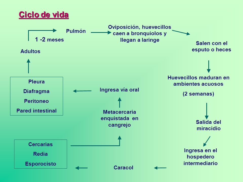 Pulmón Adultos Oviposición, huevecillos caen a bronquiolos y llegan a laringe Salen con el esputo o heces Huevecillos maduran en ambientes acuosos (2
