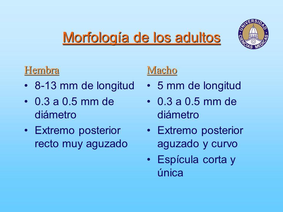 Morfología de los huevecillos Doble membrana, transparentes.